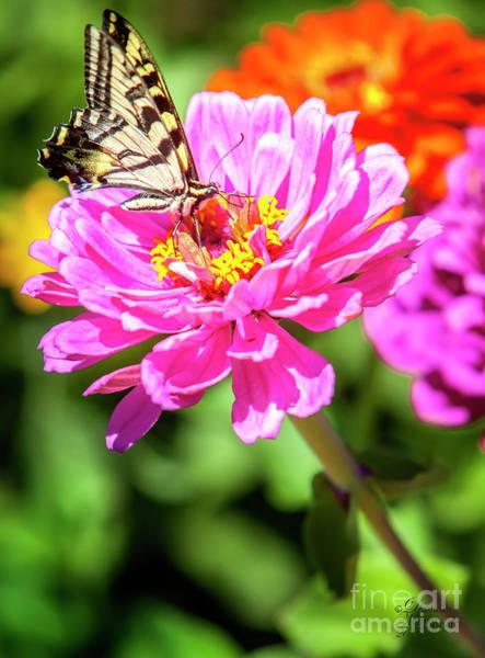 Photograph - Swallowtail Butterfly Wall Art by David Millenheft