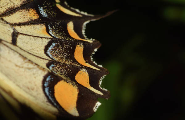 Photograph - Swallowtail Butterfly Wing by Larah McElroy