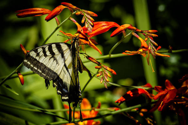 Photograph - Swallowtail Hanging On The Crocosmia by Belinda Greb