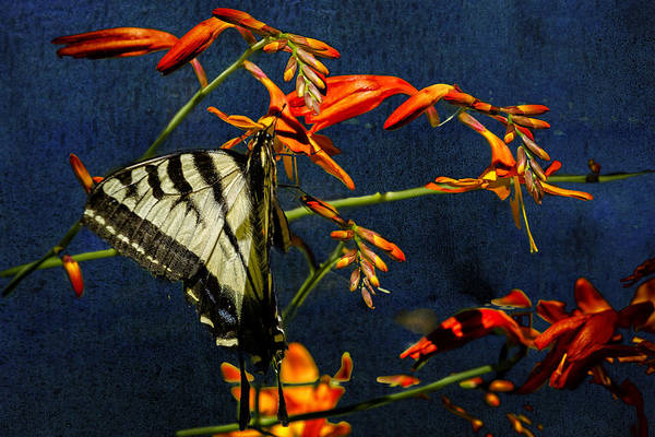 Photograph - Swallowtail Hanging On The Crocosmia With Texture by Belinda Greb