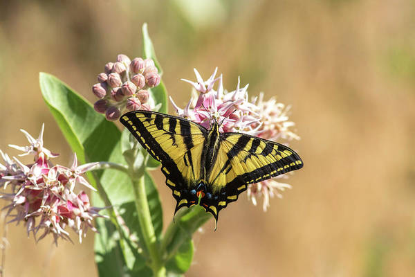 Showy Milkweed Wall Art - Photograph - Swallowtail In Summer by Lynn Hopwood
