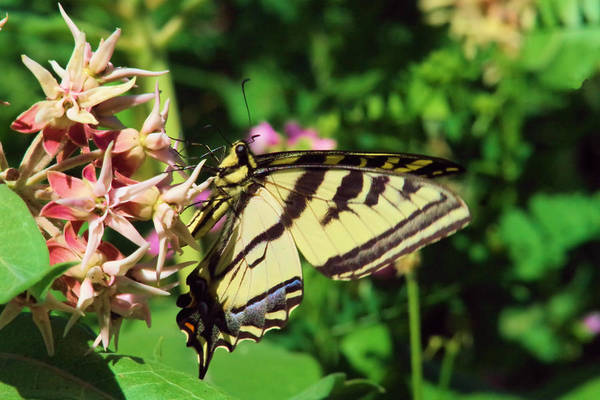 Wall Art - Photograph - Swallowtail by Jeff Swan