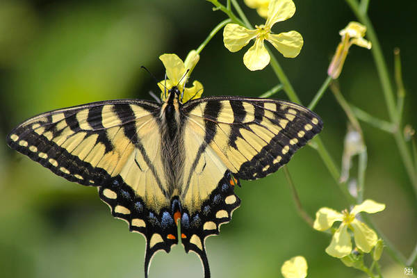 Photograph - Swallowtail by John Meader