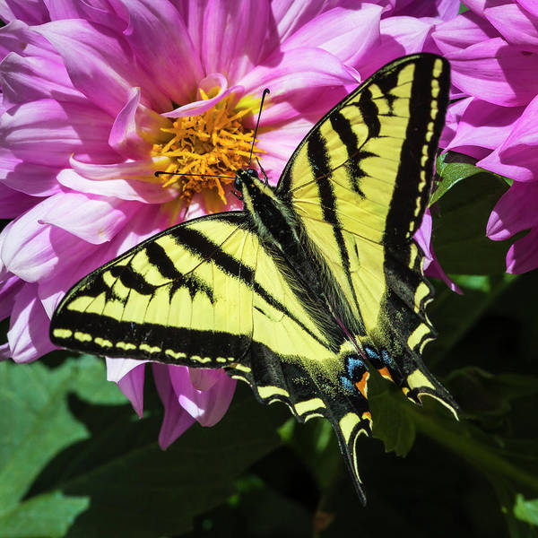Photograph - Swallowtail by Mark Mille
