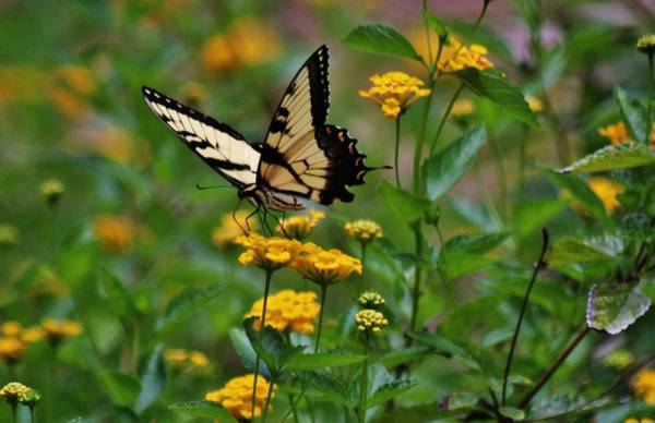 Photograph - Swallowtail On Lantana by Cynthia Guinn
