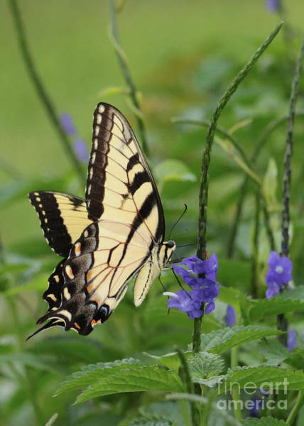 Photograph - Swallowtail On Porterweed by Carol Groenen