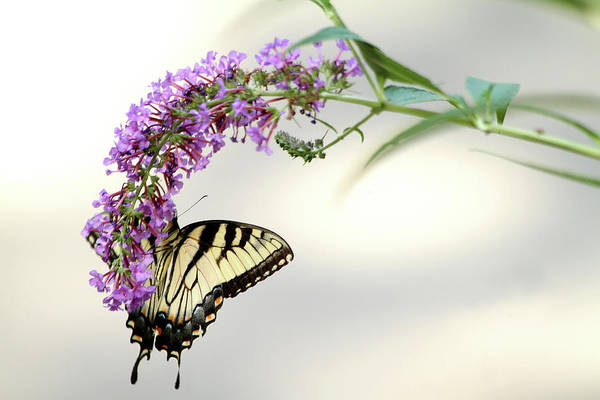 Photograph - Swallowtail On Purple Flower by Emanuel Tanjala