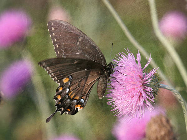 Photograph - Swallowtail On Thistle by Charles McKelroy