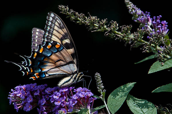Wall Art - Photograph - Swallowtail Posing by Ron Plasencia