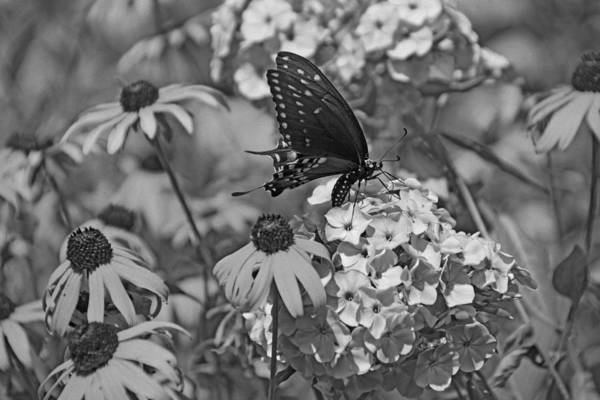 Photograph - Swallowtail  by Sandy Keeton