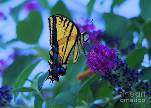 Wall Art - Photograph - Swallowtail Sipping Flowers by Jeff Swan