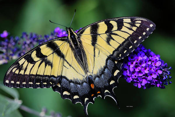Photograph - Swallowtail Splendor by Dale R Carlson