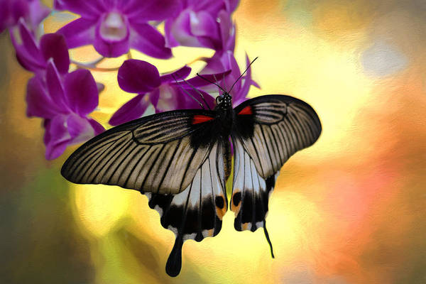 Photograph - Swallowtail by Susan Rissi Tregoning