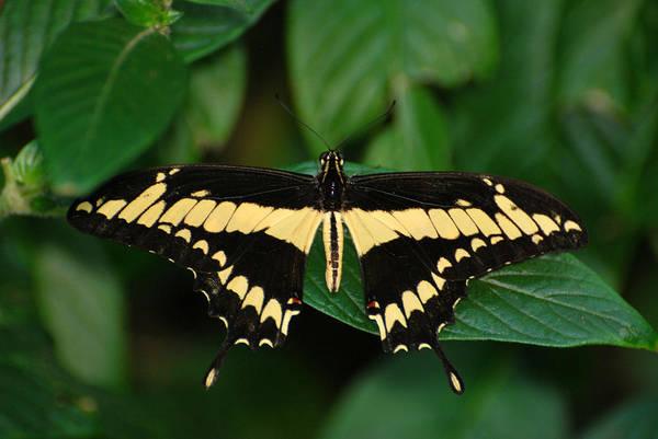 Photograph - Swallowtail by Teresa Blanton