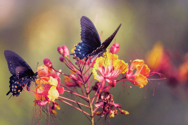 Wall Art - Photograph - Swallowtails On Bird Of Paradise  by Saija Lehtonen