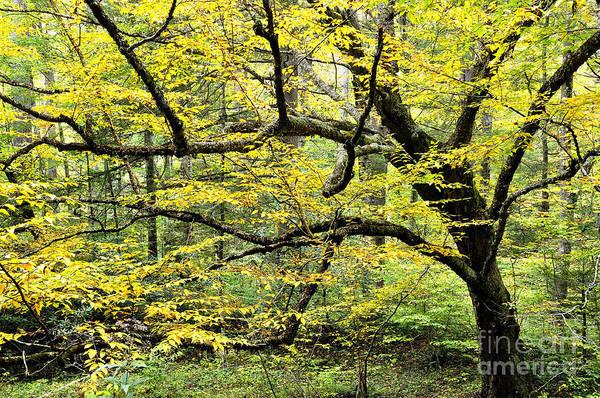Birch River Photograph - Swamp Birch In Autumn by Thomas R Fletcher