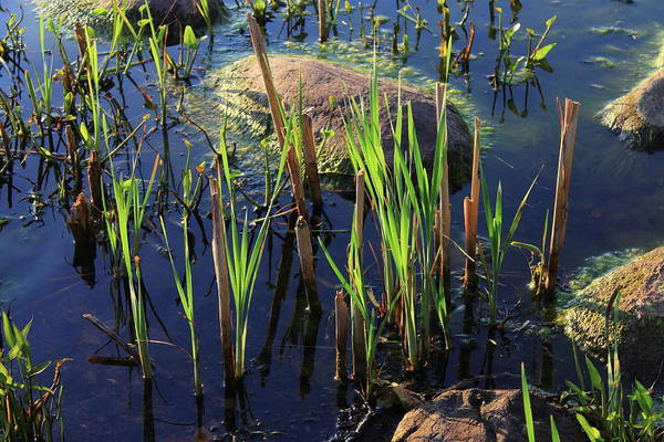 Photograph - Swamp by Frank Romeo