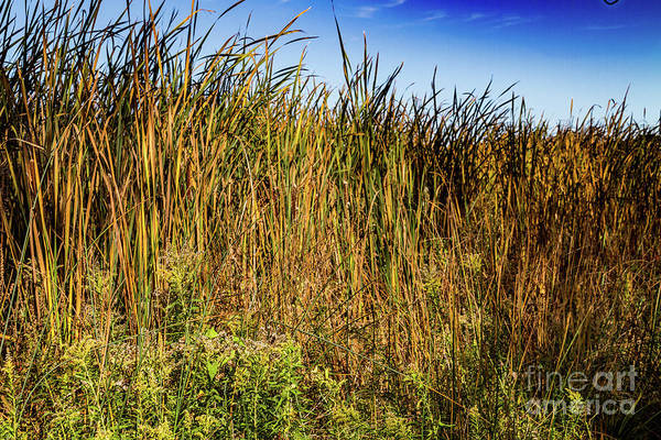 Photograph - Swamp Grass by William Norton