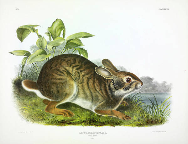 Swamp Painting - Swamp Hare by John James Audubon