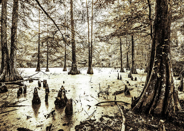 Photograph - Swamp In Sepia by Andy Crawford