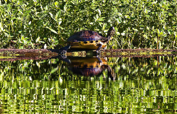 Swamp Turtle Sunning On A Log Art Print by Michael Whitaker