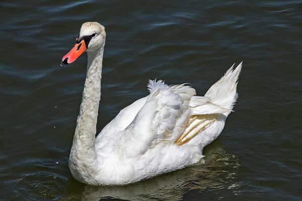 Photograph - Swan 2 by Bob Slitzan