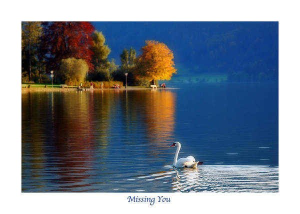 Photograph - Swan And Autumn Reflections Greeting Card by Ginger Wakem