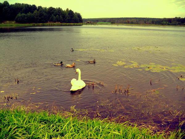 Gorecki Photograph - Swan And Ducks by Henryk Gorecki