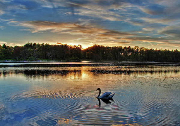 Swan At Sunset Art Print