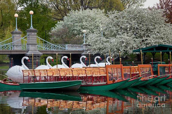 Wall Art - Photograph - Swan Boat Spring by Susan Cole Kelly