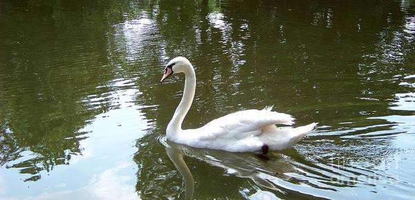 Photograph - Swan by Charles Robinson
