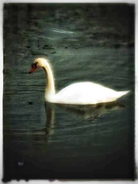 Photograph - Swan by Christine Paris