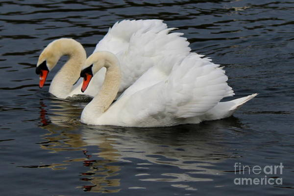 Wall Art - Photograph - Royal Swan Couple by Hanni Stoklosa