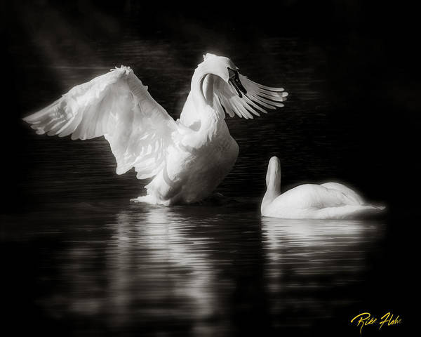 Photograph - Swan Display by Rikk Flohr