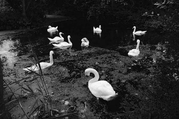 Photograph - Swan Family by August Timmermans