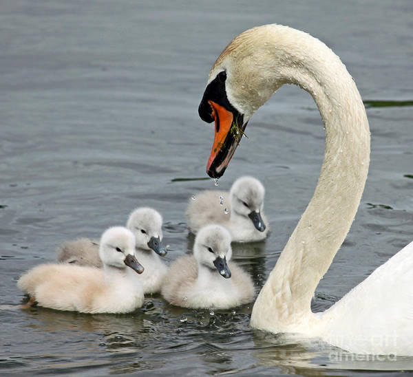 Wall Art - Photograph - Swan Family Day Two by Steve  Gass