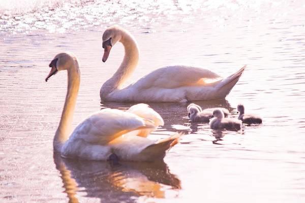 Wall Art - Photograph - Swan Family by Mary Ann Artz