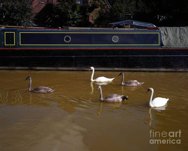 Greater Manchester Wall Art - Photograph - Swan Family Swimming Along The Bridgewater Canal Worsley Salford Greater Manchester England by Michael Walters