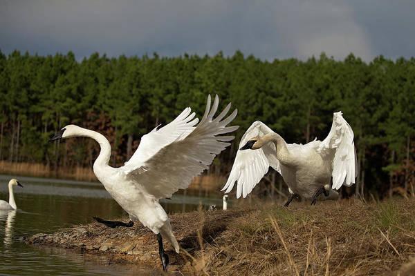Swan Fight Art Print