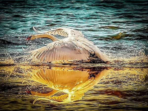 Photograph - Swan Flight  by Cliff Norton