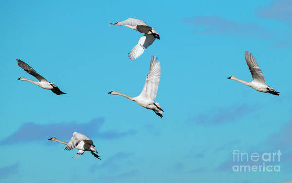 Swan Photograph - Swan Flight by Mike Dawson