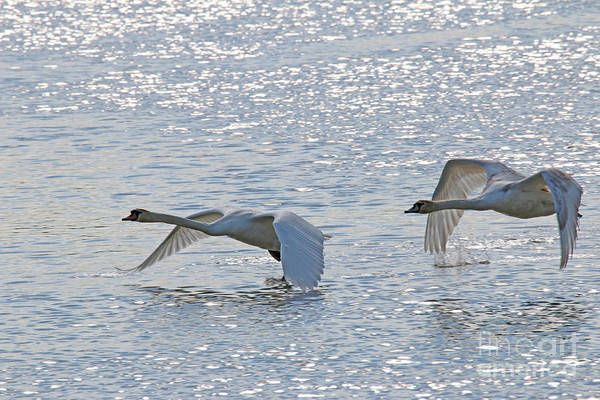Wall Art - Photograph - Swan Flyby by Steve Gass
