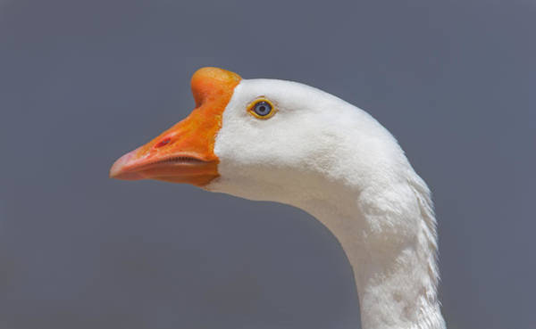 Photograph - Swan Goose  by Brian Cross