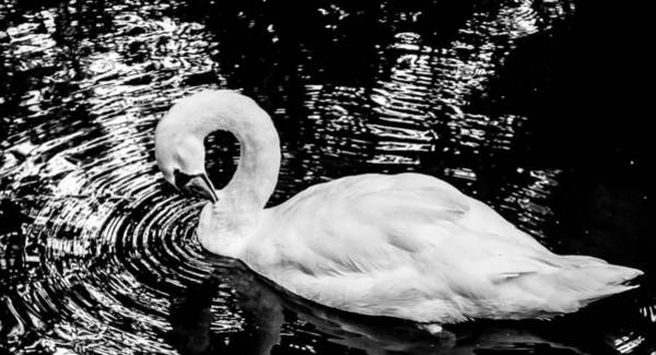 Photograph - Swan In Black Water by Francisco Gomez