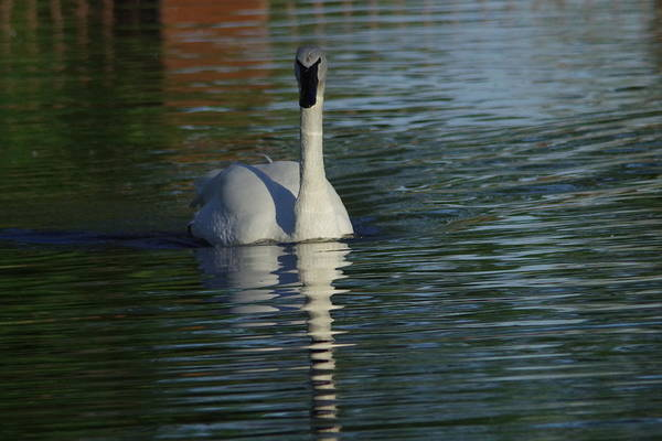Trumpeter Swan Wall Art - Photograph - Swan In Calm Waters by Jeff Swan