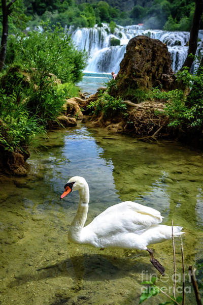 Photograph - Swan In The Waterfalls Of Skradinski Buk At Krka National Park In Croatia by Global Light Photography - Nicole Leffer