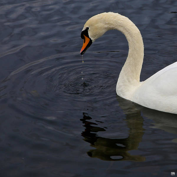 Photograph - Swan by John Meader