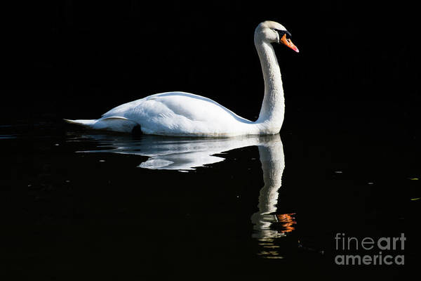 Photograph - Swan by Keith Morris