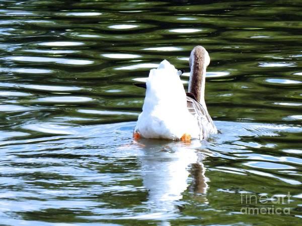 Photograph - Swan Lake #2 by Robyn King