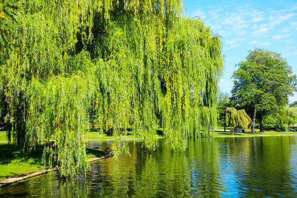 Photograph - Swan Lake Boston Common by SR Green